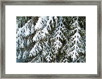 Snowy Fir Tree Framed Print by Sami Sarkis