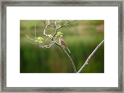 Framed Print featuring the photograph Song Sparrow by Mary McAvoy