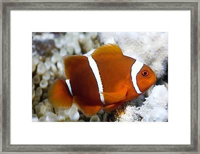 Spinecheek Anemonefish Framed Print by Georgette Douwma