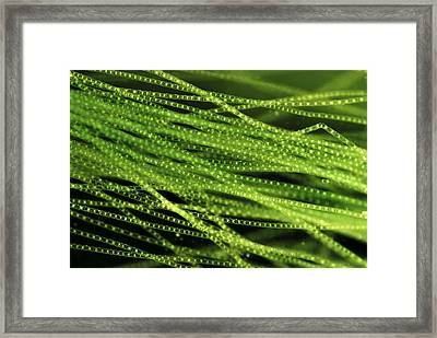 Spirogyra Algae, Light Micrograph Framed Print by Jerzy Gubernator