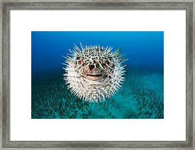 Spotted Porcupinefish Framed Print by Dave Fleetham