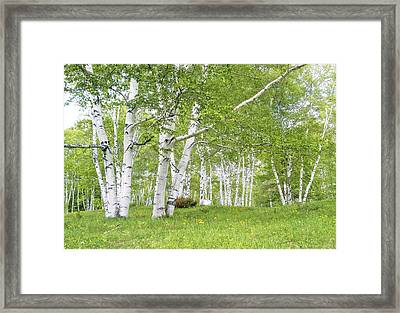 Spring Birches Framed Print by Gordon Ripley