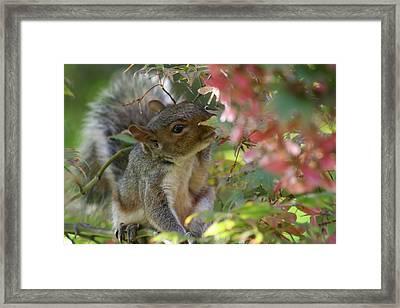 Squirrel In Fall Framed Print by Valia Bradshaw