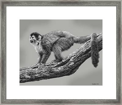 Squirrel Monkey Framed Print