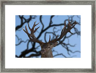 Stag Ramifications Framed Print by Michael Mogensen