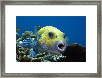 Star Pufferfish And Cleaner Wrasse Framed Print by Georgette Douwma