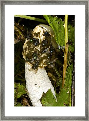 Stinkhorn Fungus Framed Print