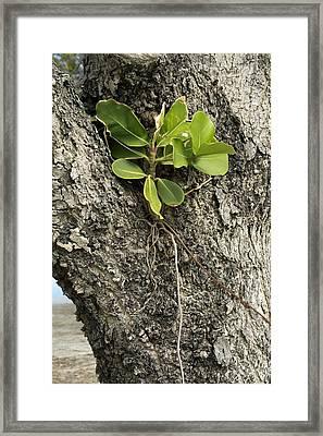 Strangler Fig (ficus Aurea) Framed Print by Bob Gibbons