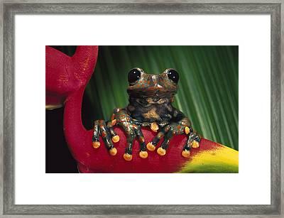 Strawberry Tree Frog Hyla Pantosticta Framed Print by Pete Oxford