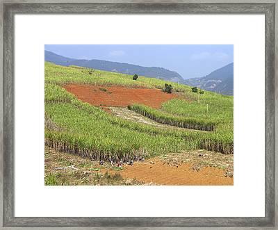Sugar Cane Harvest Framed Print by Bjorn Svensson