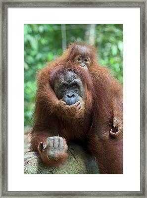 Sumatran Orangutan Pongo Abelii Mother Framed Print