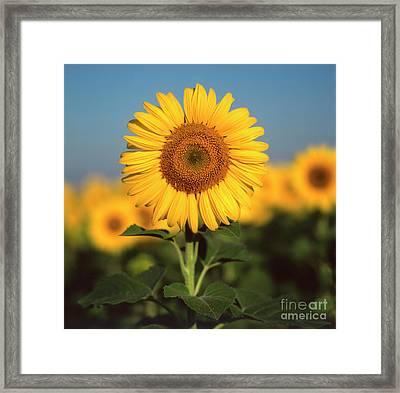 Sunflower Framed Print by Bernard Jaubert
