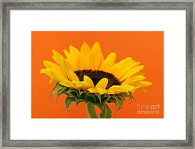 Sunflower Closeup Framed Print by Elena Elisseeva