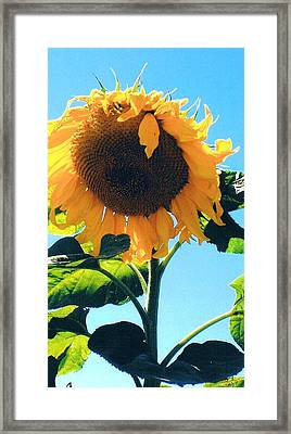 Sunflower In Bloom Framed Print by Peggy Leyva Conley
