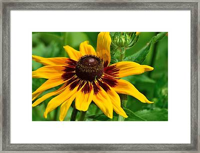 Sunflower Framed Print by Kathy King