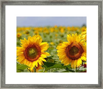 Sunflowers Framed Print by Jack Schultz