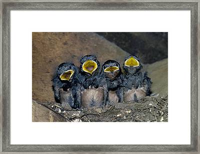 Swallow Chicks Framed Print by Georgette Douwma