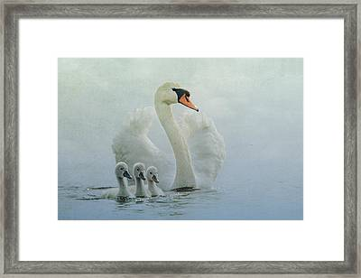 Swan Family Framed Print by Betty Wiley
