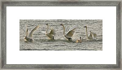 Swan Lake Framed Print by Sandy Sisti