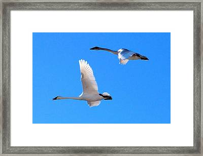 Swans On Blue Sky Framed Print by Don Mann