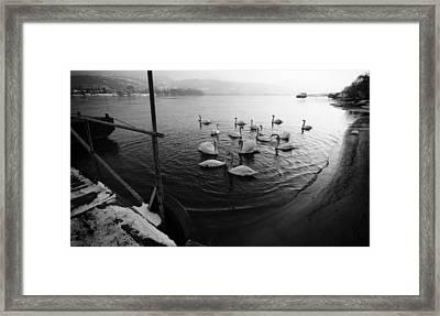 Swans On River Danube Framed Print by Tibor Puski