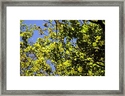 Sycamore Leaves (acer Pseudoplatanus) Framed Print by Dr Keith Wheeler