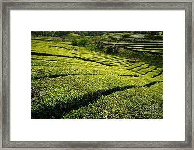 Tea Gardens Framed Print by Gaspar Avila