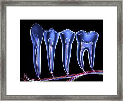 Teeth, Cross Section Framed Print by Pasieka