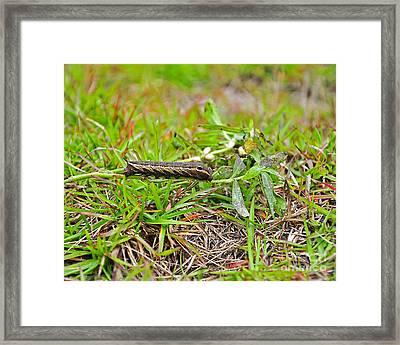 Tersa Sphinx Caterpillar Framed Print by Al Powell Photography USA