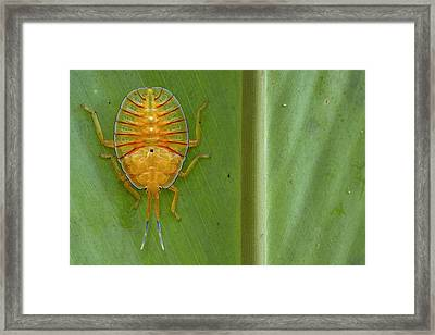 Tessaratomid Nymph Papua New Guinea Framed Print by Piotr Naskrecki
