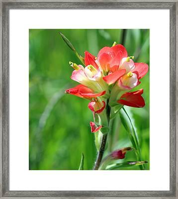 Texas Indian Paintbrush Framed Print
