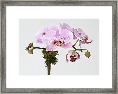 The Branch Of A Flowering Orchid Framed Print by Nicholas Eveleigh