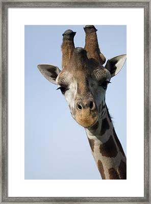 Thompsons Giraffe Giraffa Camelopardalis Framed Print by Joel Sartore