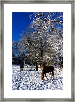 Thoroughbred Horses, Mares In Snow Framed Print by The Irish Image Collection