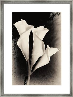 Three Calla Lilies Framed Print by Lisa  Spencer