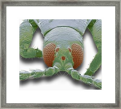 Thrip Head, Sem Framed Print by Steve Gschmeissner