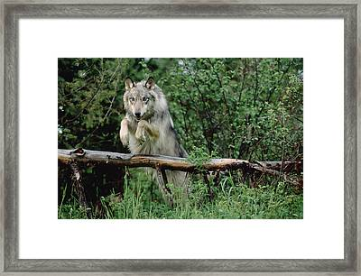 Timber Wolf Leaping Over Fallen Log Framed Print