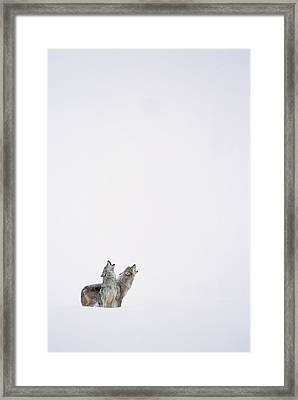 Timber Wolf Pair Howling In Snow North Framed Print