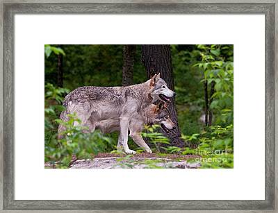 Timber Wolves Framed Print by Michael Cummings