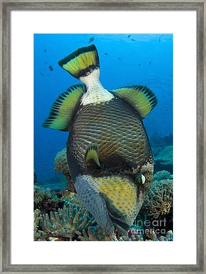 Titan Triggerfish Picking At Coral Framed Print by Steve Jones
