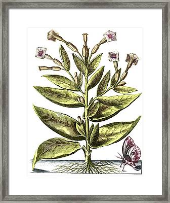 Tobacco Plant, 17th Century Artwork Framed Print by Middle Temple Library