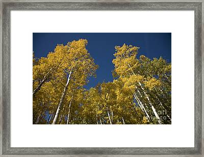 Towering Aspens Framed Print by Timothy Johnson