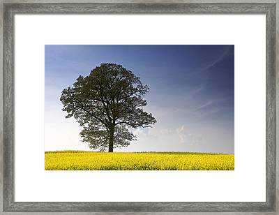 Tree In A Rapeseed Field, Yorkshire Framed Print by John Short