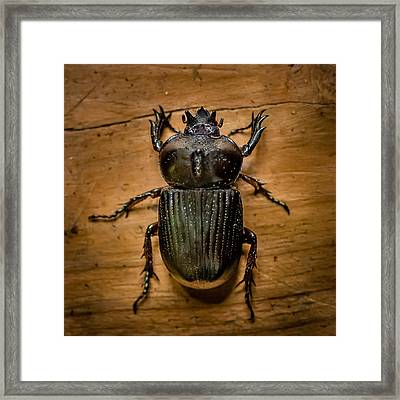Triceratops Beetle  Framed Print