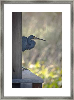 Tricolored Heron Framed Print by Bill Martin