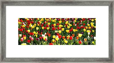 Tulip Garden University Of Pittsburgh  Framed Print by Thomas R Fletcher
