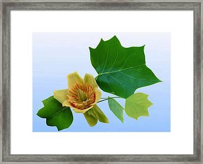 Tulip Poplar Tulip Framed Print by Kristin Elmquist