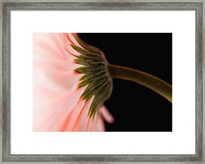 Usa, Utah, Lehi, Close-up Of Pink Daisy Framed Print