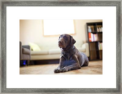 Usa, Utah, Salt Lake City, Dog Lying In Living Room Framed Print by Jessica Peterson