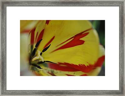 Variegated Tulip Framed Print by Rob Hemphill